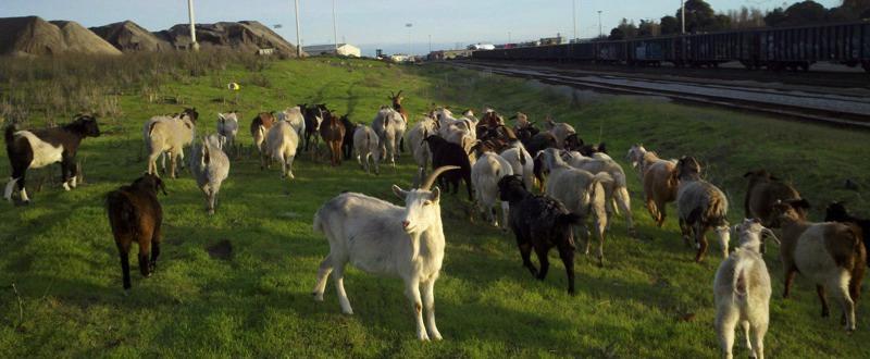 city grazing goats.