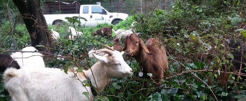 city grazing goats