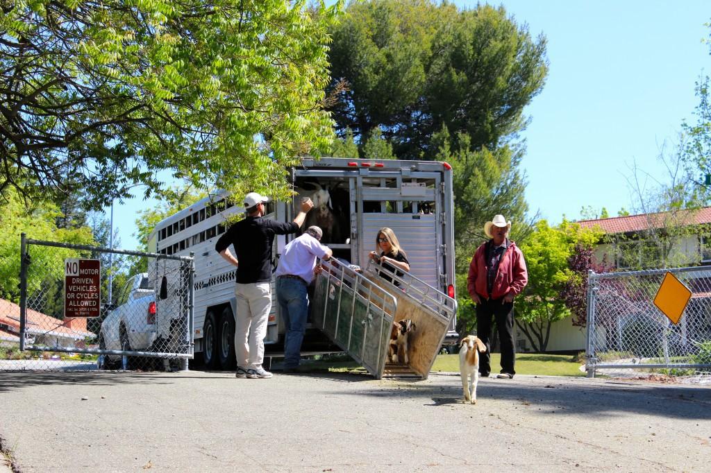 rent a goat truck